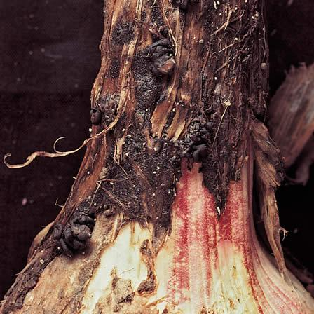 Image of Neck Rot