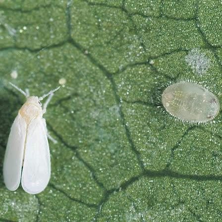 Image of Greenhouse Whitefly - Hibiscus