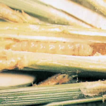 Image of Eastern Pine Shoot Borer