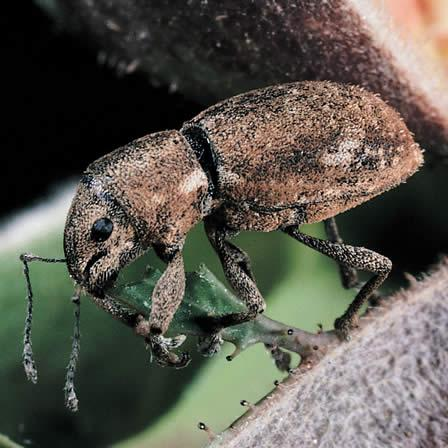 Image of Beetles - Rosa (Rose)