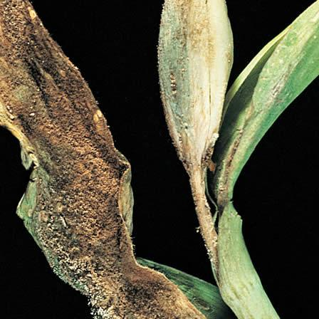 Image of Botrytis Blight