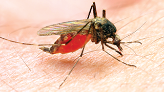Mosquitoes drawing blood from human