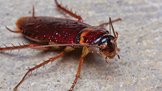 Close up of Roach