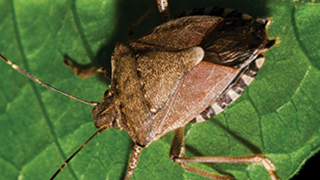 Stink Bug on a leaf