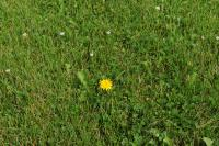 Lawn with dandelion, clover, and other weeds growing in it.
