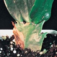 Image of Root and Stem Rot - Schlumbergera (Christmas Cactus)