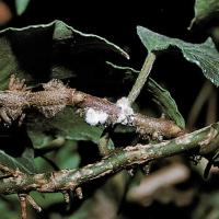 Image of Mealybugs - Insects