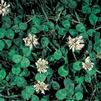 Image of White Dutch Clover