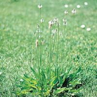 Image of Plantain - Hardscapes