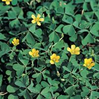 Image of Oxalis - Hardscapes