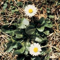 Image of English Lawn Daisy