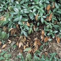 Image of Canker and Dieback - Vinca