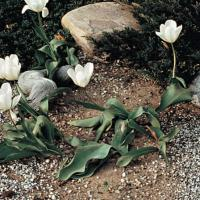 Image of Failure to Bloom - Tulipa (Tulip)