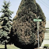 Image of Winter Injury - Cypress Family (Arborvitae)