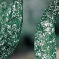 Image of Mealybugs - Ferns