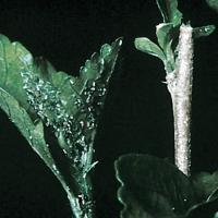 Image of Cotton Aphid and Cowpea Aphid