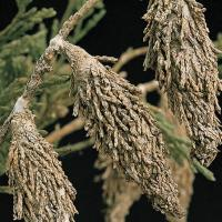 Image of Bagworm - Juniper