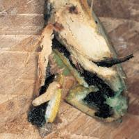 Image of Hickory Shuckworm