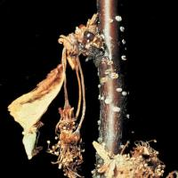Image of Brown Rot - Plum