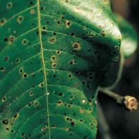 Image of Anthracnose - Mango
