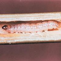 Image of European Corn Borer - Corn