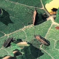 Image of Squash Bug