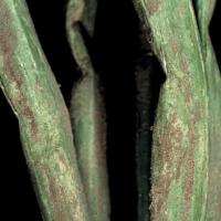 Image of Downy Mildew - Onion Family (including garlic)