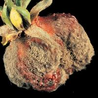 Image of Gray Mold - Strawberries
