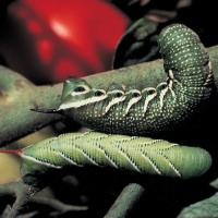 Image of Tomato Hornworm and Tobacco Hornworm - Tomatoes