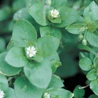 Image of Common Chickweed - Hardscapes