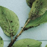 Image of Aphids - Malus (Crabapple)
