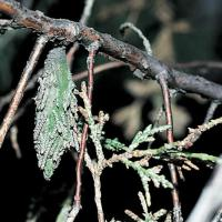 Image of Bagworm - Cypress Family (Arborvitae)