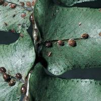 Image of Scale Insects - Ferns