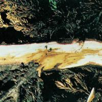 Image of Root or Crown Rots