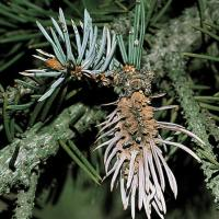 Image of Cooley Spruce Gall Adelgid