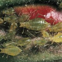 Image of Rose aphid