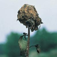 Image of Gray Mold - Peony (tree and herbaceous)
