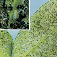 Image of Citrus Whitefly