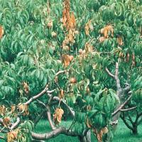 Image of Brown Rot - Peach and Nectarine