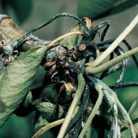 Image of Fire Blight - Pear