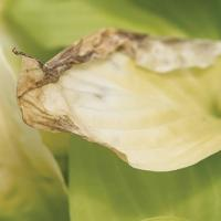 Image of Sunburn - Hosta