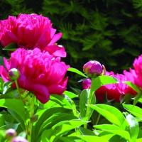 Image of Peony (tree and herbaceous)