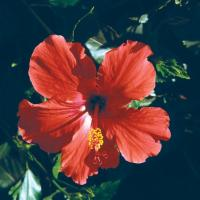 Image of Hibiscus