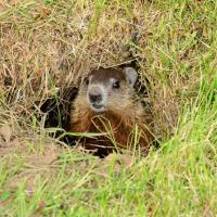 Image of Groundhogs