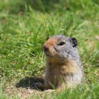 Image of Ground Squirrels