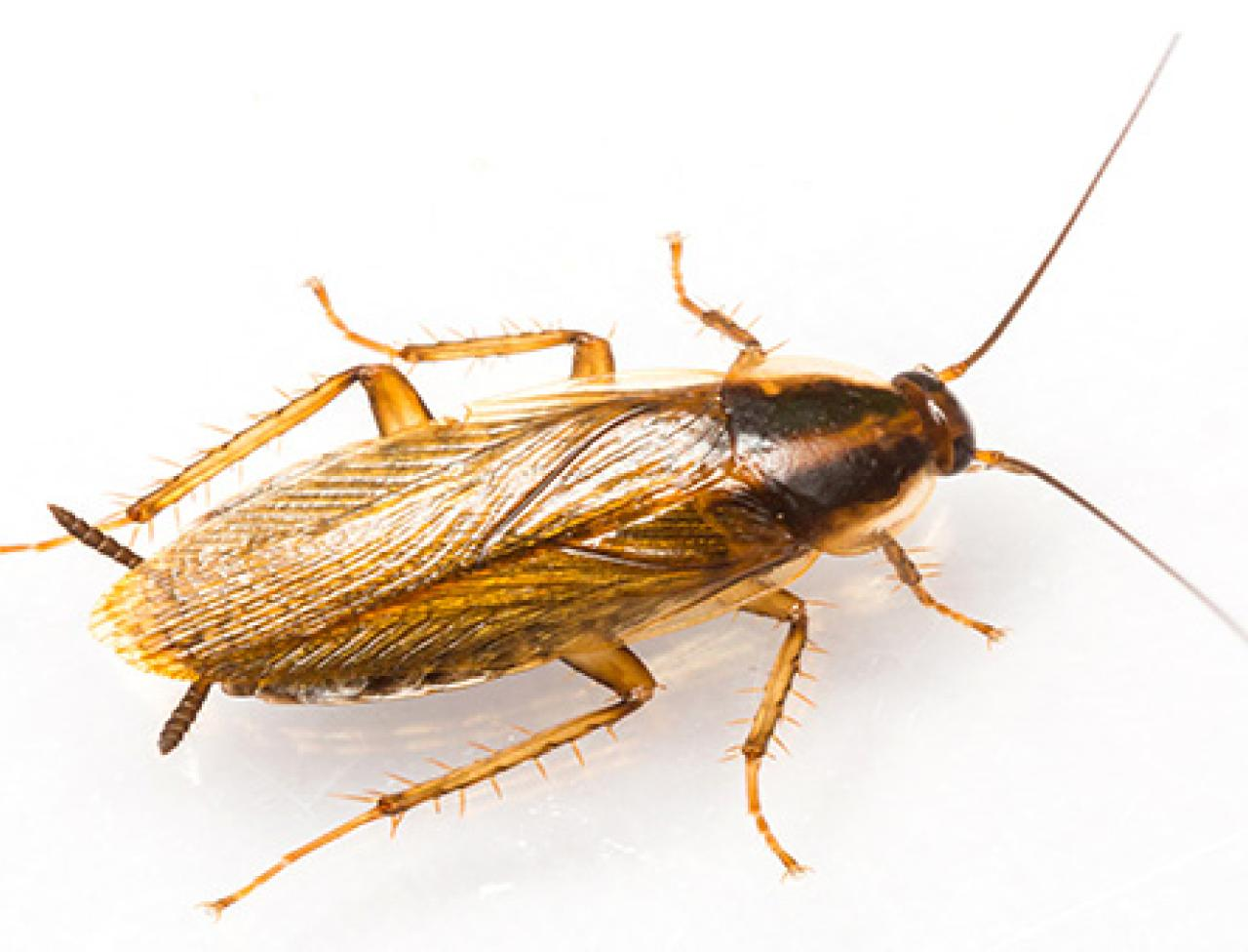 How to Get Rid of German Cockroaches   German Roach Infestation