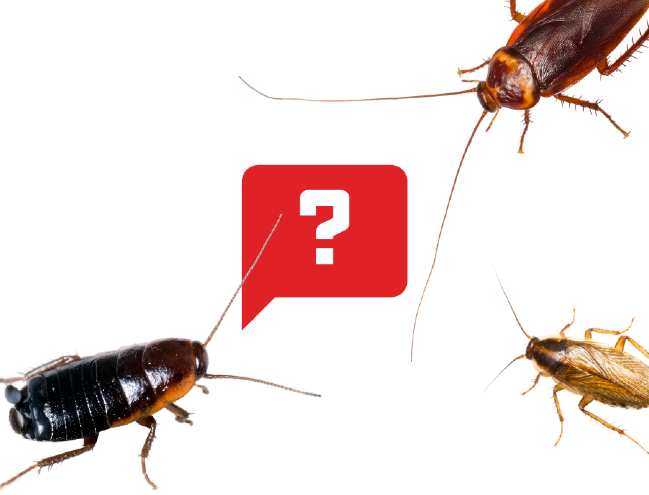 How To Identify Cockroaches Types Of Roaches Ortho