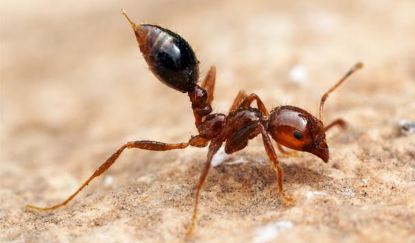 fire ant image ortho