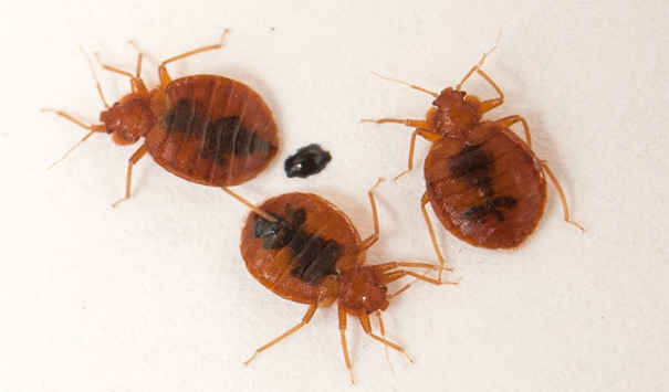 ortho bed bugs