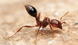 Fire Ant on Skin